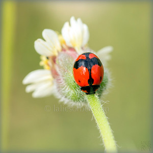 Indian Ladybug. Coccinelle indienne.