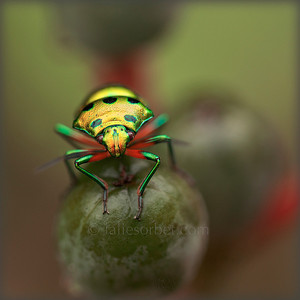 A Jewel Bug (Chyrsocoris Stolli) An iridescent green jewel bug They are commonly known as jewel bugs or metallic shield bugs due to their often brilliant coloration. They are also known as shield-backed bugs due to the enlargement of the last section of their thorax into a continuous shield over the abdomen and wings. These insects feed on plant juices from a variety of different species, including some commercial crops.Like stink bugs, a vast majority of jewel bugs, both adults and nymphs, are also capable of releasing pungent defensive chemicals from glands located on the sides of the thorax. Typical compounds exuded by jewel bugs include alcohols, aldehydes, and esters. Nymphs and adults often exhibit clustering behavior, being found in large numbers close to each other. This behavior is thought to have an evolutionary advantage. The more individuals present in an area, the stronger the odour of the chemicals released when the bugs are threatened. If this fails, stink bugs will react to threat by flying away or dropping to the ground. The colors are the result of a combination of factors. Some species like Chrsyocoris stockerus and Scutellera nobilis display colors from multiple thin layers of pigmented chitin.  Tamil Nadu - India.
