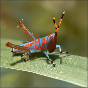 Fluorescent indian grasshopper - Tamil Nadu - India. Sauterelle indienne fluorescente - Tamil Nadu - Inde.