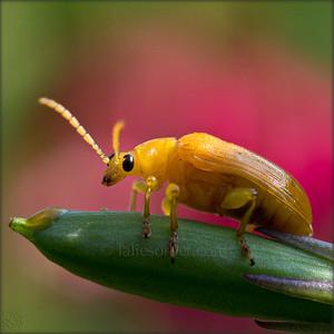 Yellow coleoptera - Cteniopus sulphureus - Tamil Nadu - India. Coléoptère jaune - Cteniopus sulphureus - Tamil Nadu - Inde.