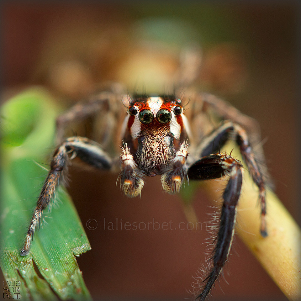 Jumper Spider ( salticidae ) Tamil Nadu - India. Araignée sauteuse ( salticidae ) Tamil Nadu - Inde.