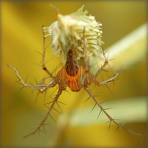 Lynx spider - Tamil Nadu -  India. Araignée lynx - Tamil Nadu - Inde.
