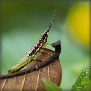 India Grasshopper - Tamil Nadu - India. Sauterelle indienne - Tamil Nadu - Inde.