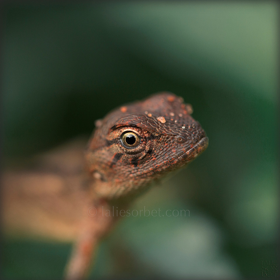 Oriental Garden Lizard ( Calotes Versicolor ) - Tamil Nadu - India. Lézard oriental des jardins ( Calotes Versicolor ) - Tamil Nadu - Inde.
