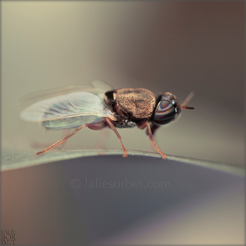 Soldier fly - Stratiomyidae - Tamil Nadu - India. Mouche soldat - Stratiomyidae - Tamil Nadu - Inde.