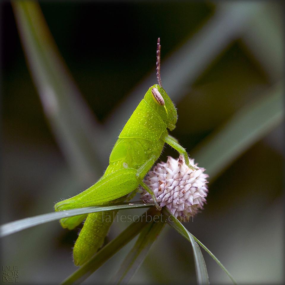 Fluorescent grasshopper - Tamil Nadu - India. Sauterelle fluorescente - Tamil Nadu - Inde.