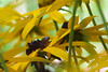A small frog suns itself on rudbeckia goldsturm.