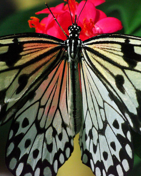 This butterfly's wings are semi-transparent enough to see the jatropha flower's color through them.