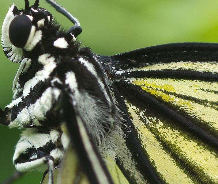 This close up macro shot shows the tiny scales that make up the butterfly's wings.