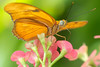 This butterfly has its straw-like proboscis unfurled to drink the flower nectar.