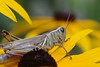 This grasshopper showed up one morning in my garden on a rudbeckia flower.