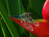 Dragonfly on Heliconia. This photo won 2nd place at the juried Art League of Fort Myers show in March 2012 and was also in the 2012 Winners Circle Art Show at the Alliance of the Arts in Fort Myers.