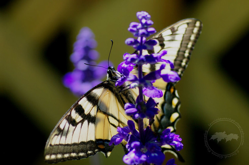 Swallowtail butterfly on salvia