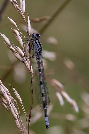 Almindelig vandnymfe, Enallagma cyathigerum