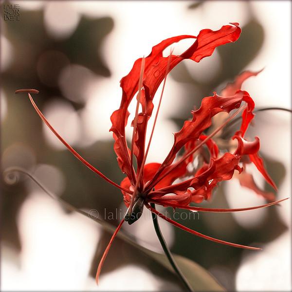 """A wild flower flourishing during moonson in the """"TDEF"""", """" tropical dry evergreen forest """" on Coromandel coast, In Tamil Nadu, India. Une fleur sauvage qui fleurit à la mousson dans la """" TDEF """", """" la forêt, sèche tropicale persistante """" sur la côte de Coromandel dans le Tamil Nadu, inde."""