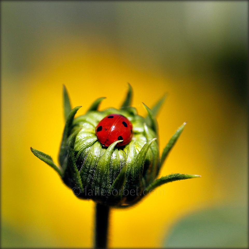 A ladybug sleeping in an improvised nest. Une coccinelle endormie dans un nid improvisé.