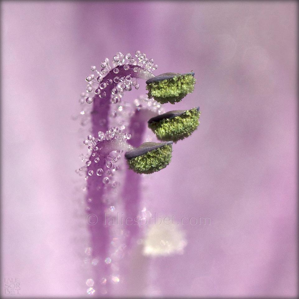 The remarkably elaborated pistil of a water hyacinth. Le pistil remarquablement élaboré d'un jacinthe d'eau.