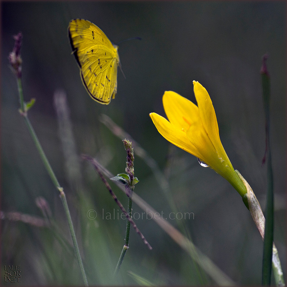Colored smilitudes between a butterfly and a flower.  Smilitudes colorées entre un papillon et une fleur.