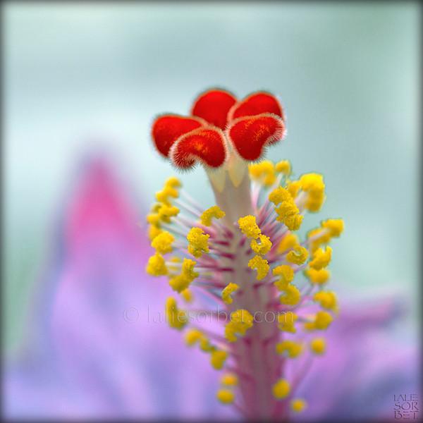 Hibiscus pistil. Le pistil d'une fleur d'hibiscus.