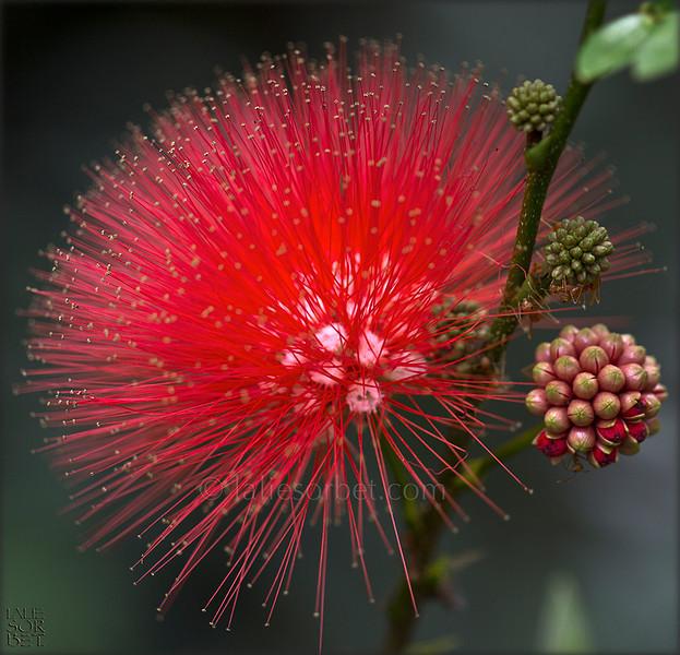 Callandria flower. Arbre à houpettes ou fleur de Calliandra.