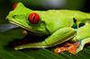 170319 - 9873 Red Eye Tree Frog - Costa Rica 02