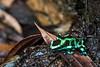 170319 - 9889 Grenn & Black Poison Dart Frog - Costa Rica