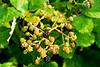 140727 - 5946 Wild Black Berries - Gluckstadt, Germany