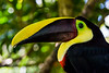 170319 - 9835 Tucan - Costa Rica