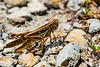 210424 - 3372 American Bird Grasshopper