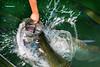 120716 - 0640 Tarpon Taking Bait - Isla Morada, FL