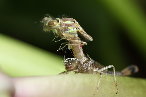 Birth of a dragon ?<br /> No a damselfly