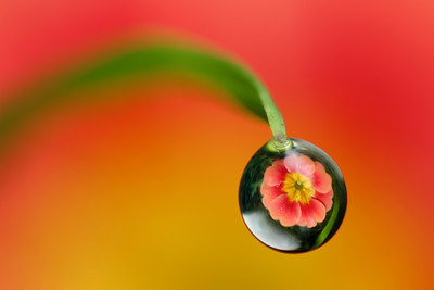 Single primrose dewdrop refraction