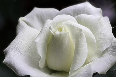 White miniature rose