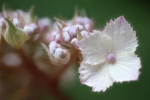 Lace Hydrangea impression