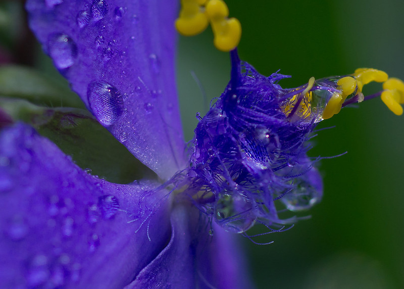 Close-up profile of a spider wart/widow's tear blossom with water droplets.