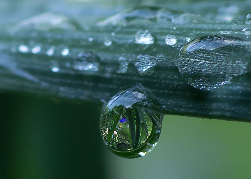 Water droplet on a bearded iris leaf. Note that the resulting view in the droplet is upside down.