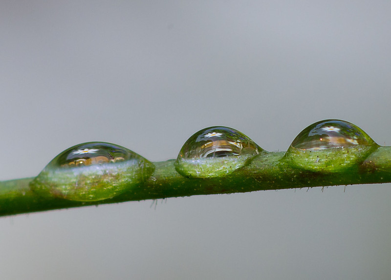A single daisy has been captured 3x in water droplets.