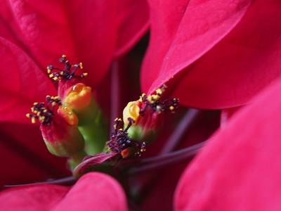 Poinsettia macros