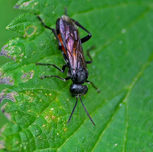 Macrophya annulata (Sawfly)