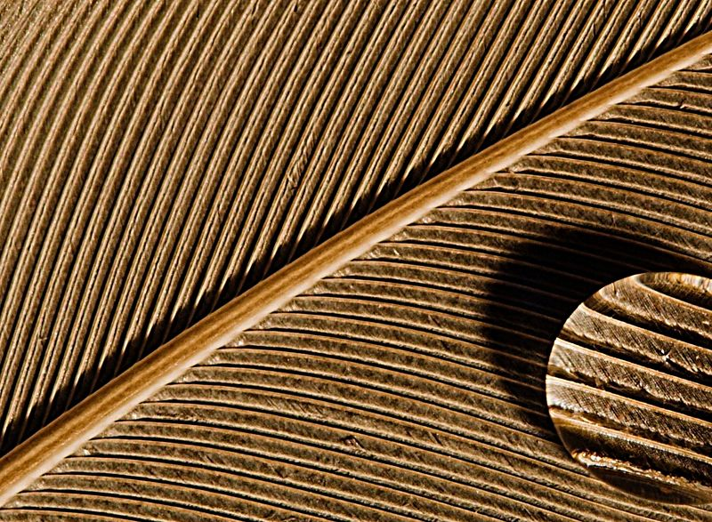"""<i><h2>""""Lines of a Feather""""</i></h2> Macro Photo of the Day - Digitalimagecafe.com 10/02/05"""