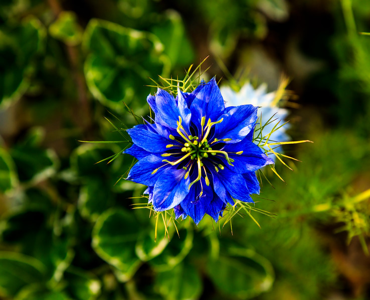 """""""Love in a Mist"""""""