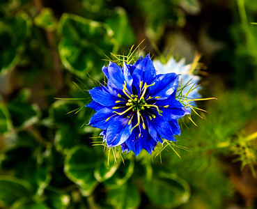 """Love in a Mist"""
