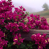 Bougainvillias & Fence.