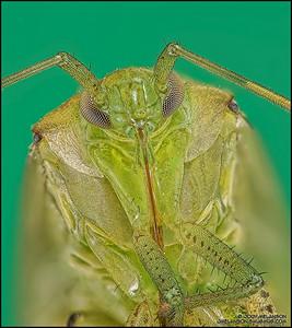 Shield Bug 5