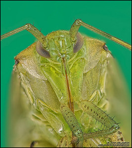 Shield Bug 5