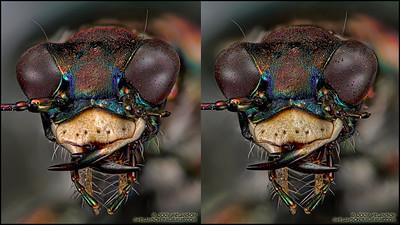 Tiger-Beetle