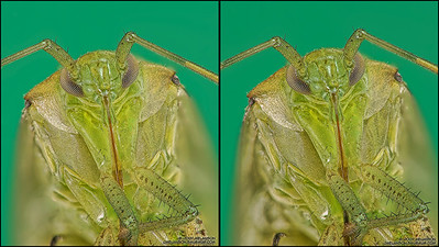 Shield Bug Stereogram