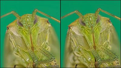 Shield Bug Stereogram