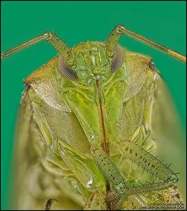 Shield Bug 6