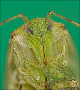 Shield Bug 6
